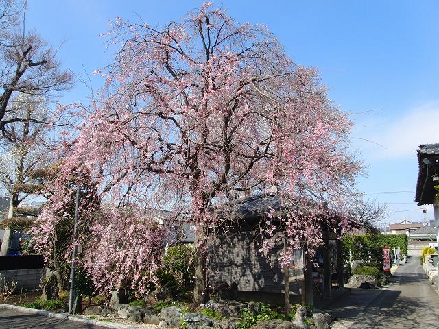 今日の桜情報