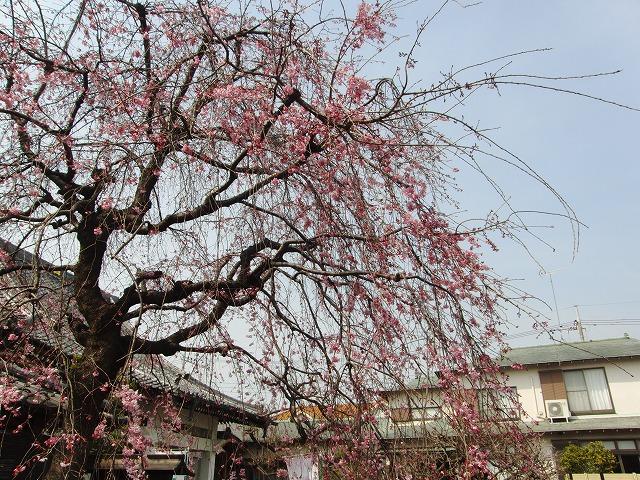 境内の桜情報