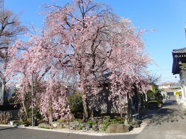 平成30年 今年の桜