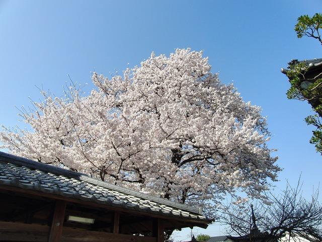 3月29日 本日の桜