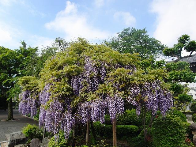 今年の藤の木