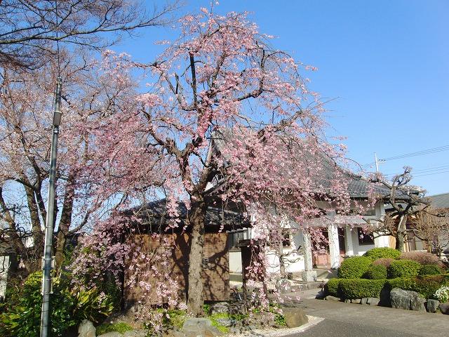 今日の桜の様子