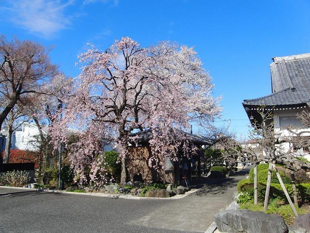 4月1日 今日の桜