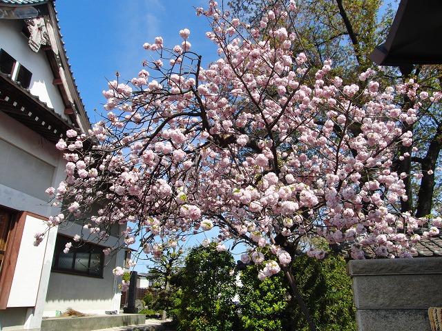最後の桜(八重桜)