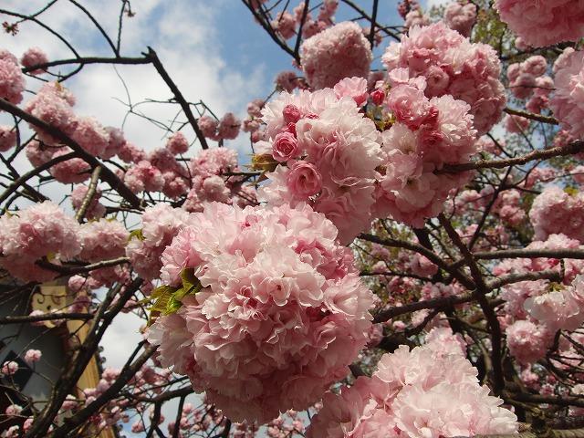 八重桜 東京