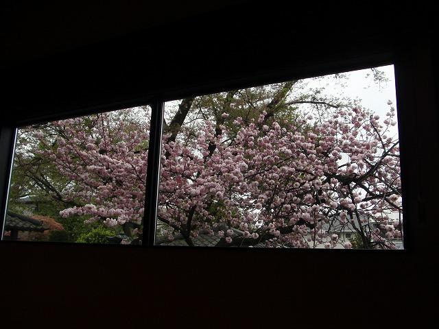 本堂から見る桜