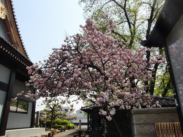 桜から藤の花へ